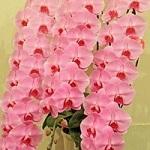 pink3hon23000.jpg