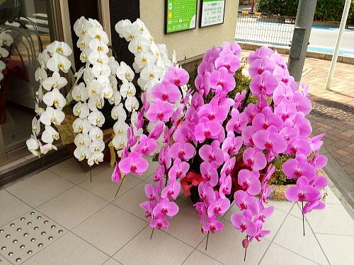 最高級の胡蝶蘭7本立を開院祝いに贈る
