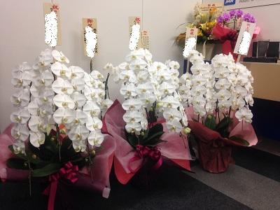 会社周年祝い胡蝶蘭