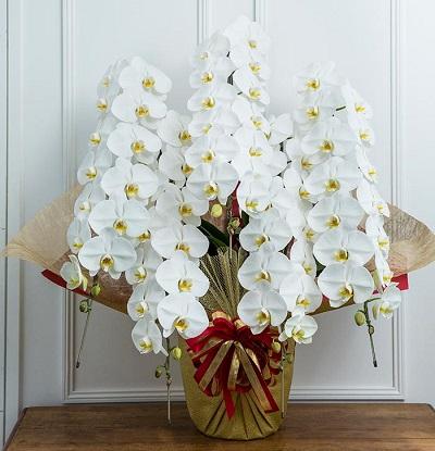 就任祝いに見栄えの良い胡蝶蘭