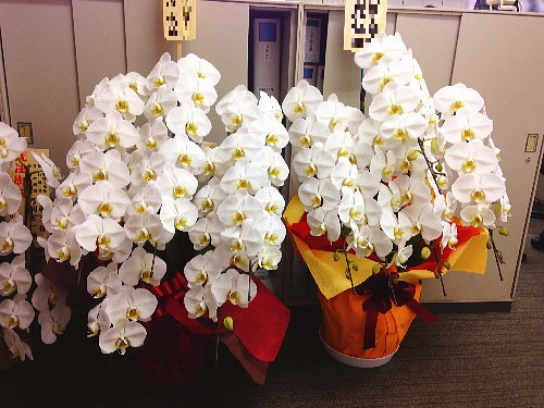 胡蝶蘭5本立の比較