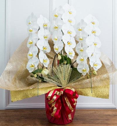 値段の安い胡蝶蘭
