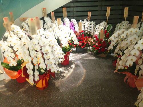 会社入り口のお祝い胡蝶蘭